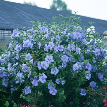 Blue Chiffon Rose of Sharon