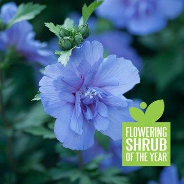 Flowering Shrub of the Year