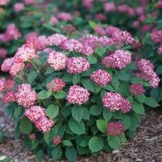 Invincibelle Ruby Hydrangea arborescens