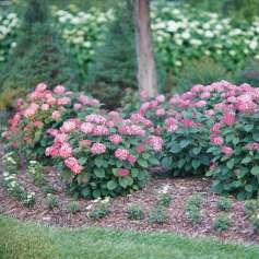 Hydrangea Invincibelle Ruby landscape