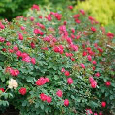 Rosa Oso Easy Double Red 1_1080_1080_60