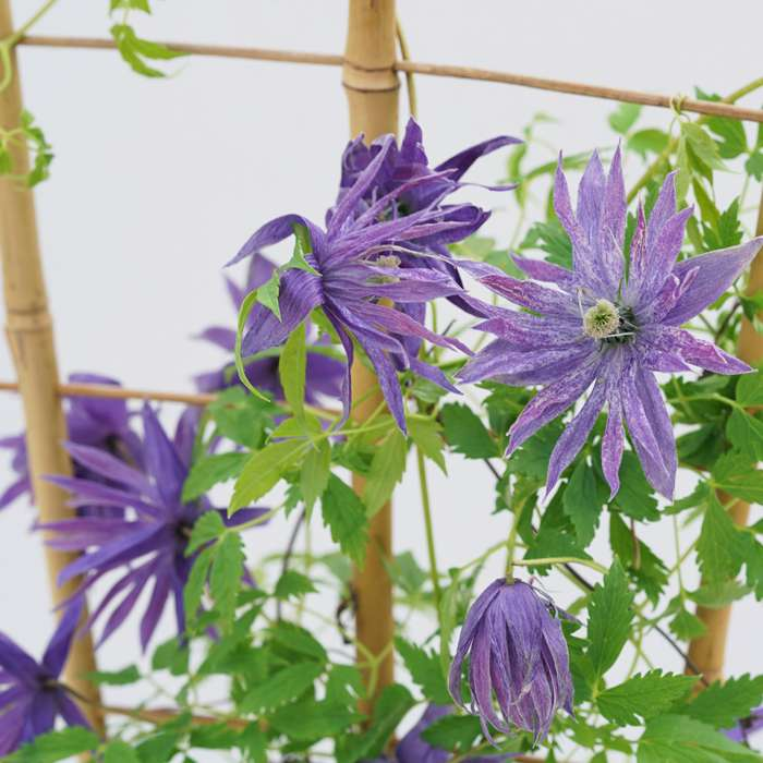 sparky-blue-clematis-5_700_700_60