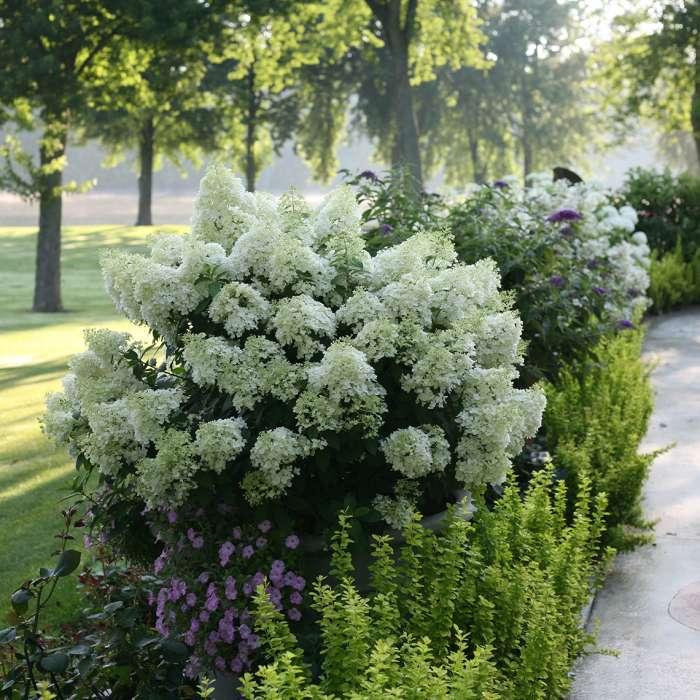 Bobo Hydrangea paniculata