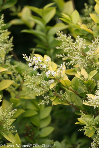 Golden Ticket flower