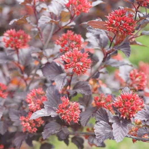 Physocarpus Ginger Wine 2_1080_1080_60