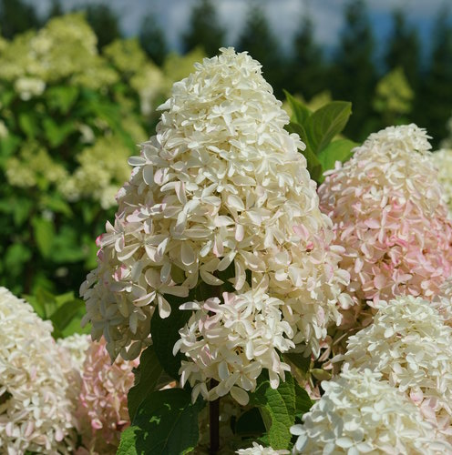 Close up of Quick Fire Fab hydrangea bloom that is white with pink flush