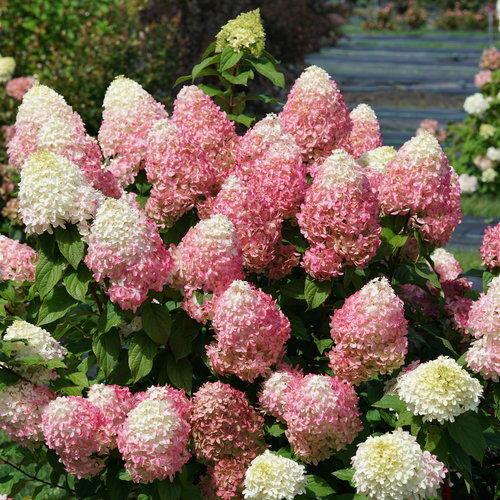 Quick Fire Fab panicle hydrangea shrub with pink blooms that have white tips