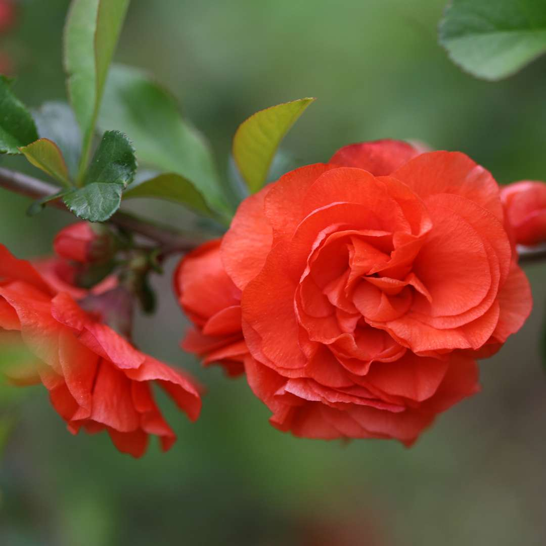 Closeup of orange Double Take quince bloom with foliage