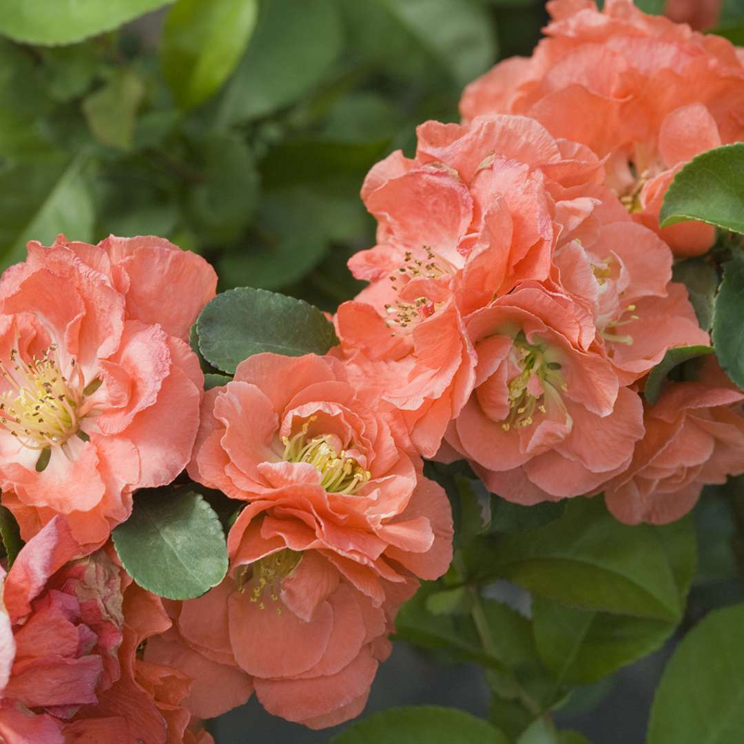 Peach Double Take quince flower cluster closeup