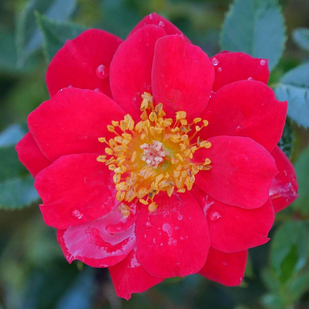 Oso Easy Urban Legend red rose bloom closeup