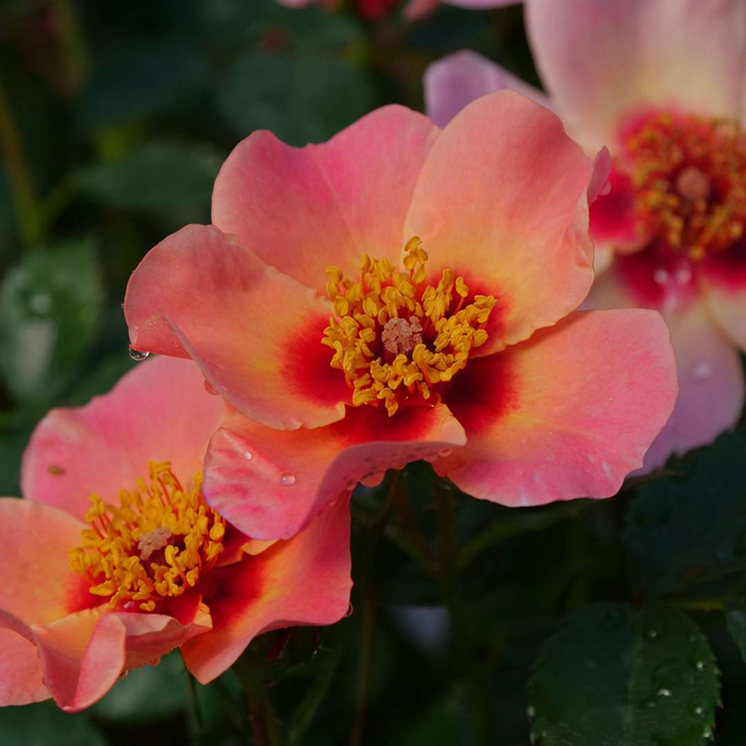 Close up of three Ringo All Star dark peach roses with dew on the petals