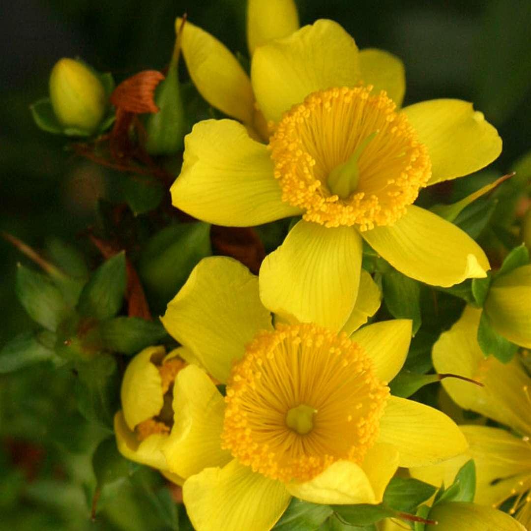 Sunny Boulevard St. John's-Wort flowers